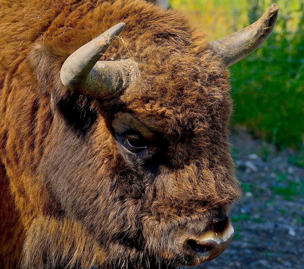 Europæisk bison, Vorup Enge (foto: Rune Engelbreth Larsen)