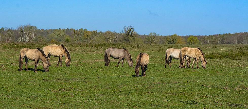 Konik-heste, Febitzer Bruch ved Döberitzer Heide (foto: Rune Engelbreth Larsen)