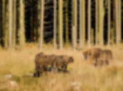 Europæisk bison i Almindingen, Bornholm (foto: Rune Engelbreth Larsen)