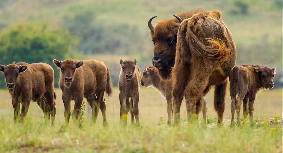Masser af bisonkalve i Kraansvlak (foto: Ruud Maaskant)