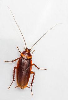 american cockroach.jpg 2014-7-29-23:17:32