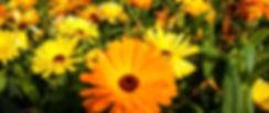 foto calendulas_edited.jpg