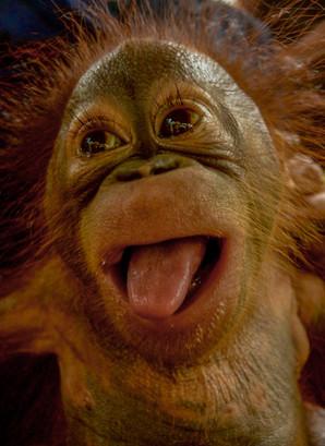 OrangutanOrphan.jpg
