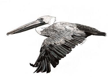 Mi Pelicano