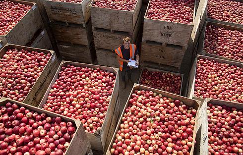 FSP_British_Apple_Harvest_004.JPG