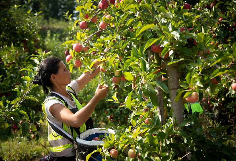 FSP_Loddington_Apple_Harvest_017.JPG
