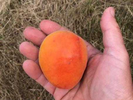 It's apricot season!