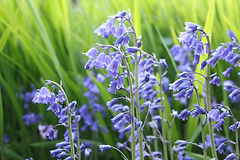 Bluebells or Hyacinthoides non-scripta.j