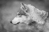 Grey%20Wolf%20(Canis%20lupus)%20Straight