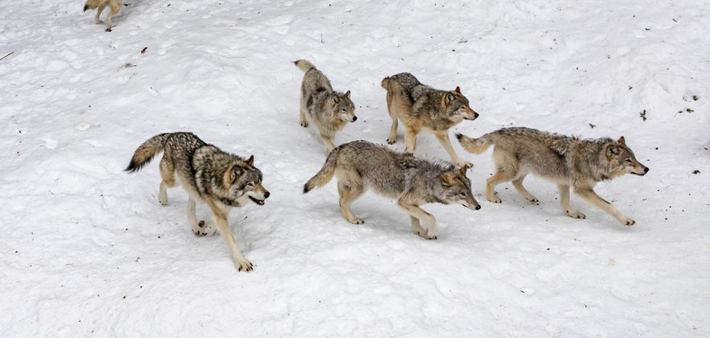 seven%20pack%20of%20wolves%20on%20forest