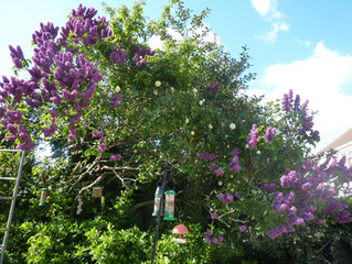 Lilac tree in full bloom