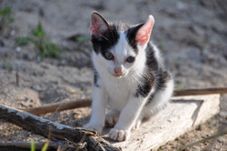 西表島の子猫