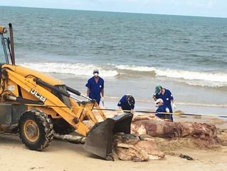 Baleia Jubarte encalhada é resgatada em Mundaí