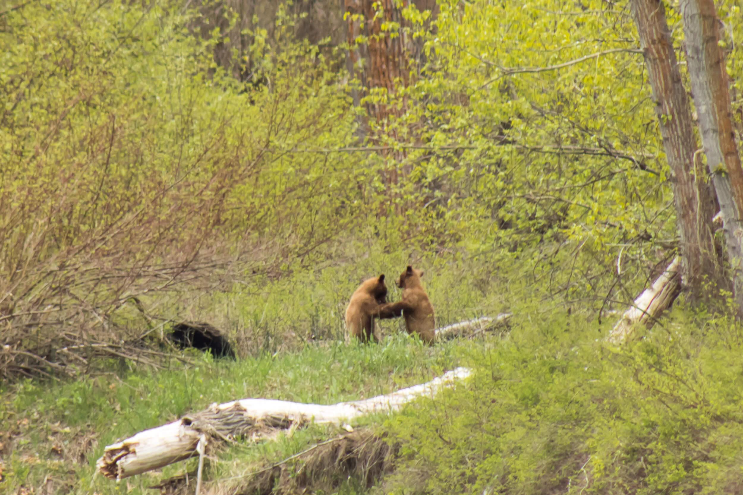 ROTR Bear Family Playing-3