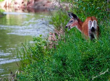 Deer in the Refuge