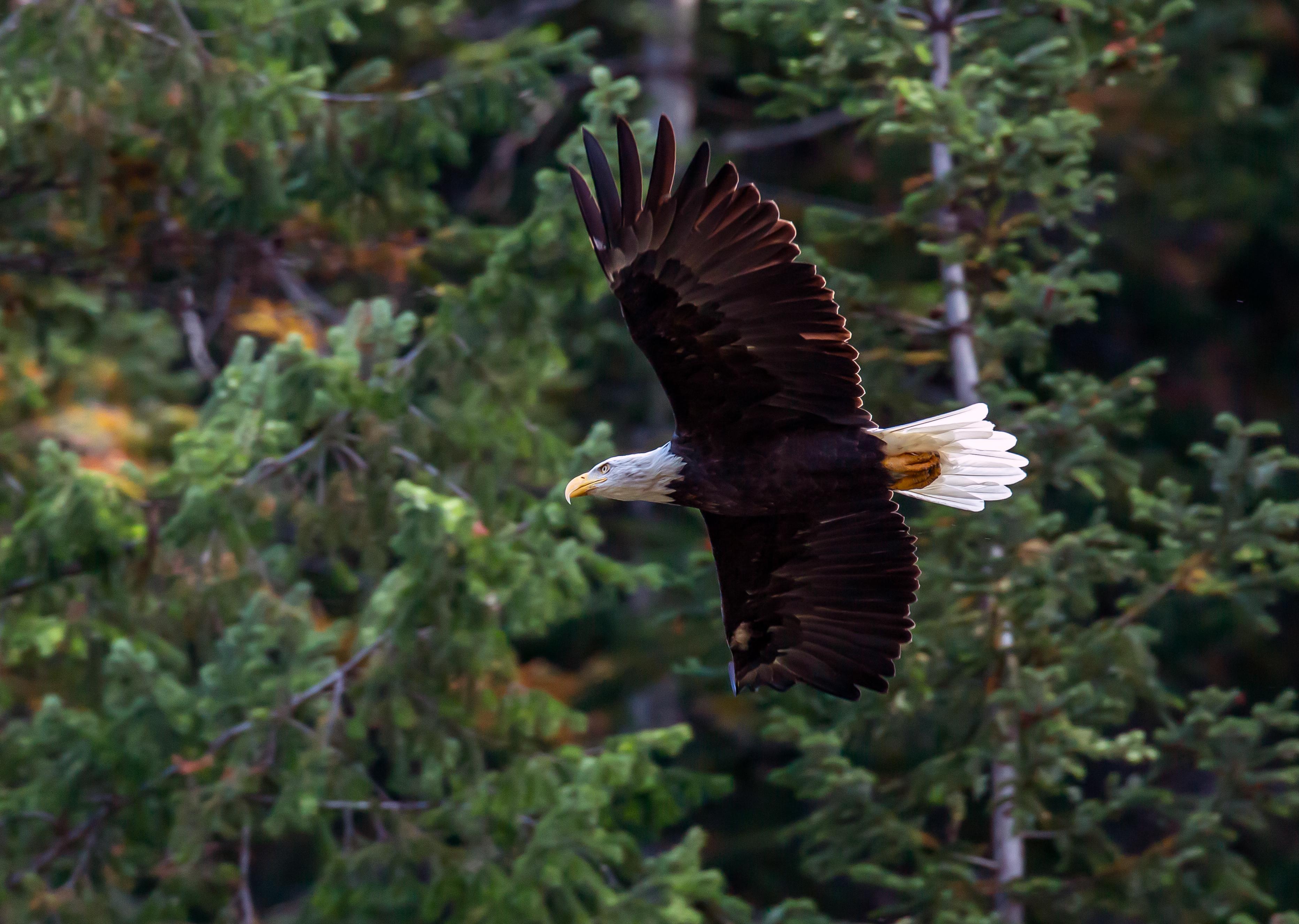 PFP_Eagle in flight