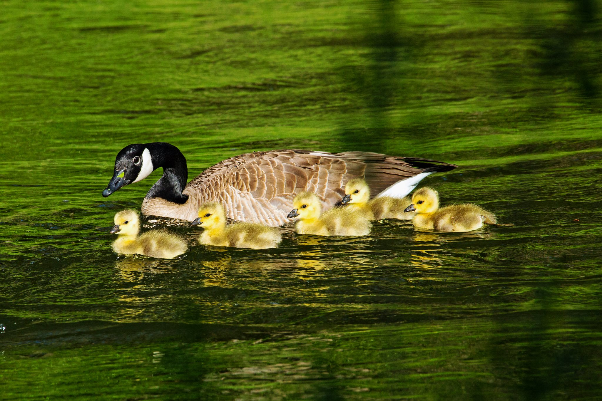 Goslings by Pete Freund Photog