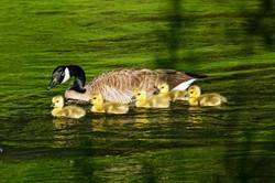 Goslings by Pete Freund Photog