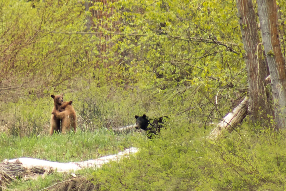 Momma bear and cubs in the Refuge - Kate Spencer Photo