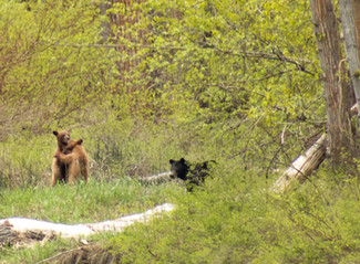 Black Bears on the Refuge