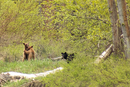 Momma bear and the cubs