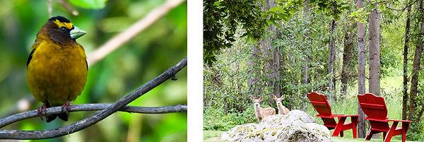 spring-confirmation-grosbeak-fawns.jpg