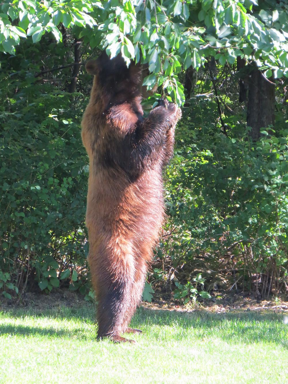 Bear Eating Cherries