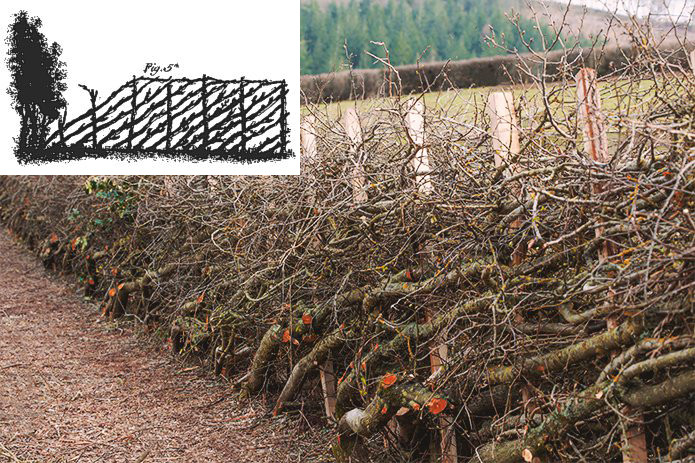Inset of plashing diagram from 18th centuryagricultural manual with photo of modern plashed hedge.