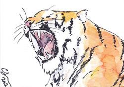 ACEO+Tiger+Yawn.jpg