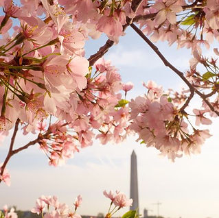 cherry-blossoms-and-the-washington-monum
