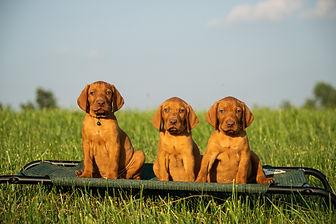 Vizla Puppies