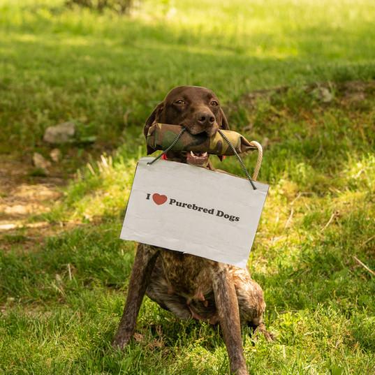 German Shorthaired Pointer purebred dog day