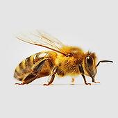 honeybee_adult.jpg