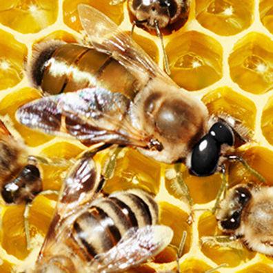 honeybee_drone.jpg
