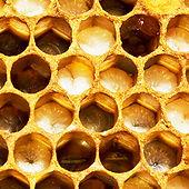 honeybee_larva.jpg