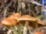 azurescens-mushroom-caps.jpg