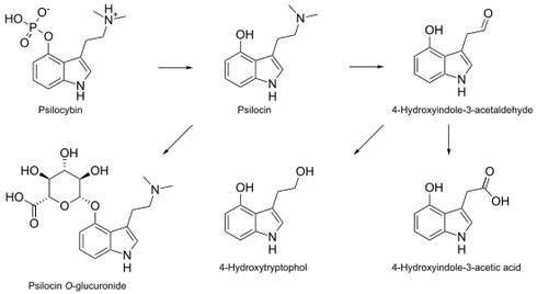 550px-Psilocybin_metabolism-1.svg.png