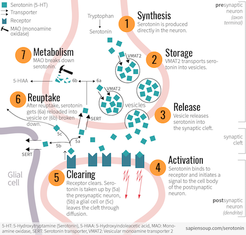 serotonin-lifecycle-synapse-detail@2x.pn