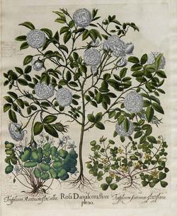 damask rose.jpg