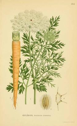 Carrot (Daucus carota)