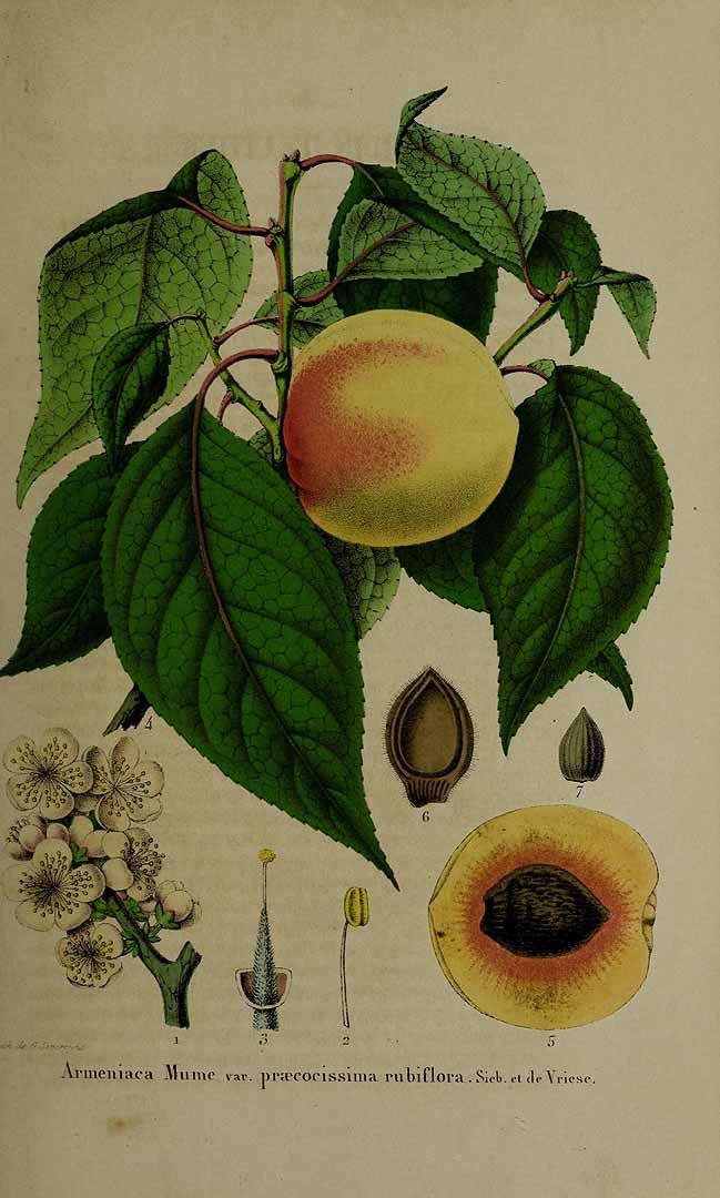 Apricot (prunus armeriaca)