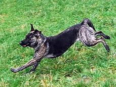 Hund rennt über eine Wiese