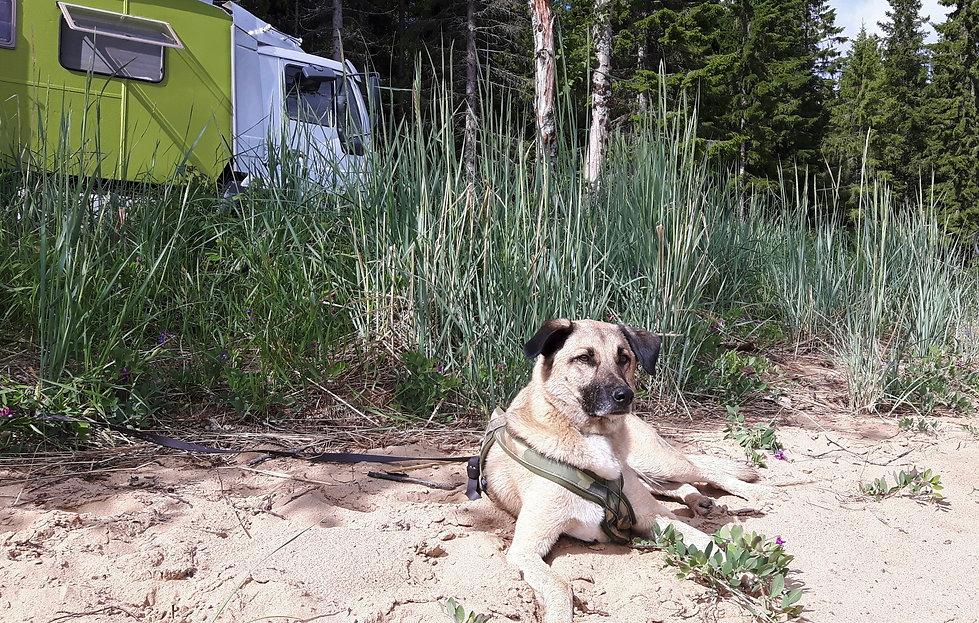 Hund auf einem Campingplatz