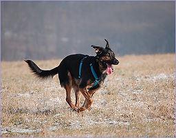 laufender Schäferhund