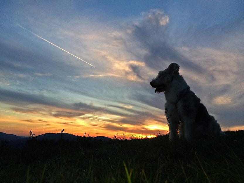 Hund vor einem Sonnenuntergang