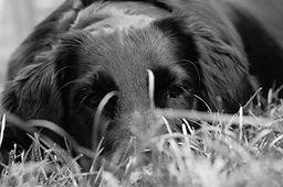 Hund schwarz-weiß