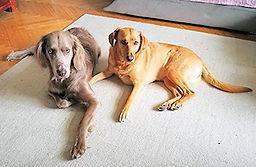zwei Hunde liegen auf dem Teppich
