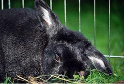 schwarzes Kaninchen