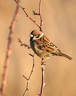 treesparrow copy.jpg