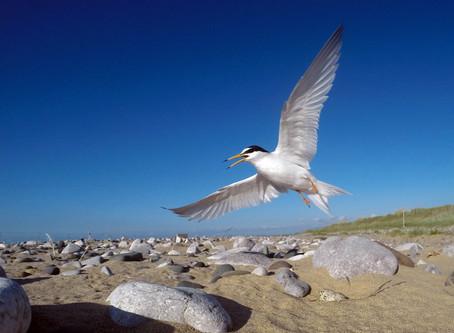 Gronant Little Terns